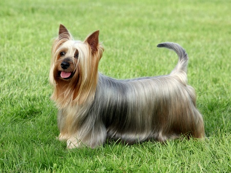 silky terrier: Australian Silky Terrier on the green grass lawn