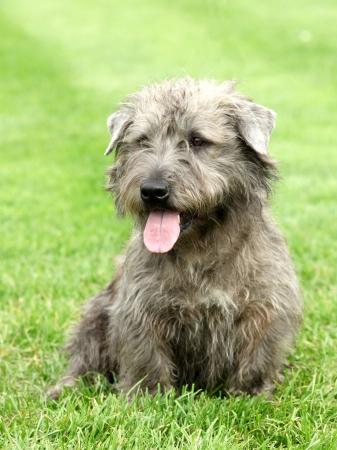 Irish Glen of Imaal Terrier in the garden 写真素材
