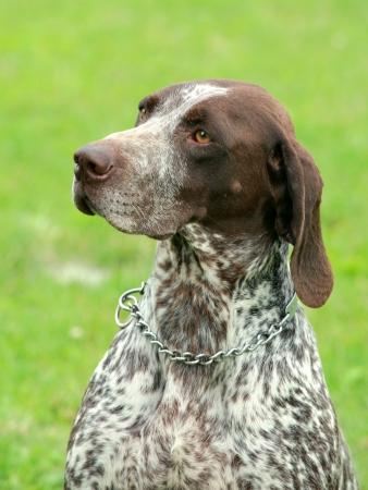 Deutsch Kurzhaar   German Short-haired Pointing Dog    photo