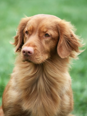 guileless: Nova Scotia Duck Tolling Retriever