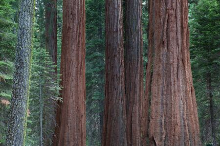 Detail of the big sequoia trees, Sequoia National Park in USA photo