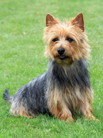 The portrait on Australian Terrier in the garden photo