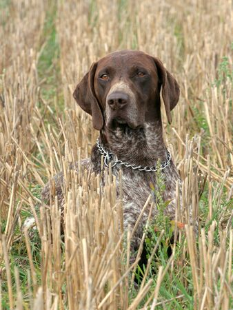 German shorthaired pointer dog sitting in the field photo