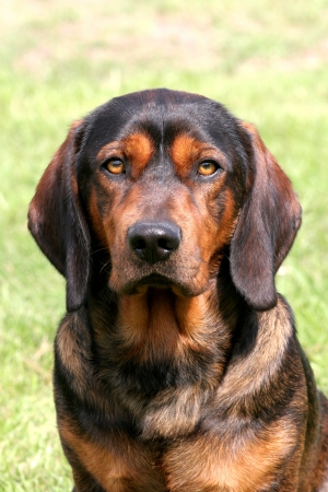 Portrait of an Alpine Dachsbracke dog Stock Photo