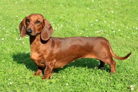 Standard smooth-haired dachshund in the garden   Stock Photo