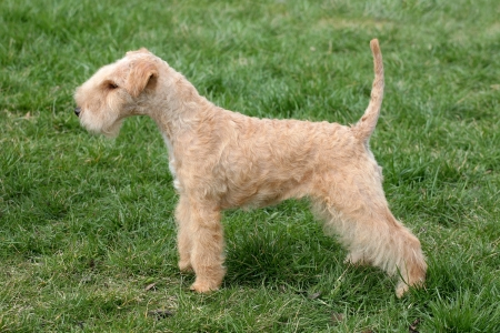Lakeland terrier on green grass in the garden Stock Photo
