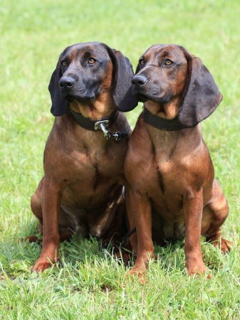 Portrait of two Bavarian Mountain Scenthound