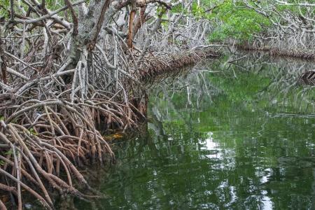 america centrale: Mangrovie tropicali tipici per la Florida e l'America centrale