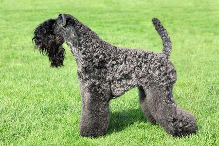 kerry: Kerry Blue Terrier standing on the green grass