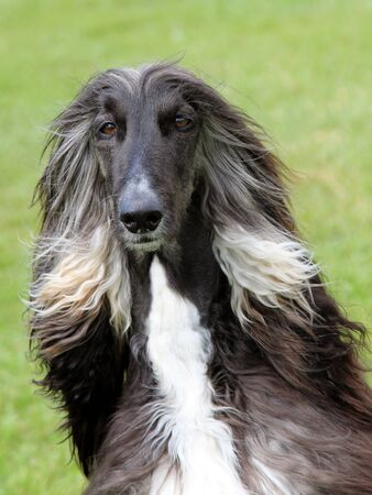 The portrait of Afghan Hound photo
