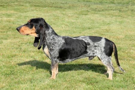 gascony: The portrait of Blue Gascony Basset in the garden Stock Photo