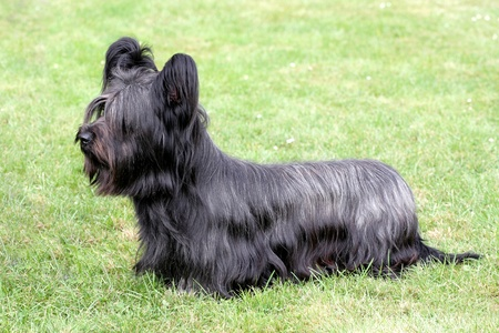 Funny Skye Terrier on the green grass 免版税图像