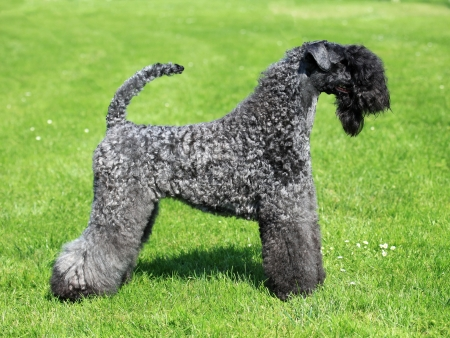 The Kerry Blue Terrier in the spring green grass photo