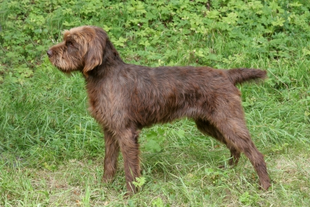 The typical Pudelpointer in the spring forest