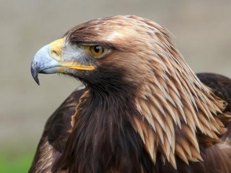 aquila reale: Il ritratto di Golden Eagle su sfondo marrone