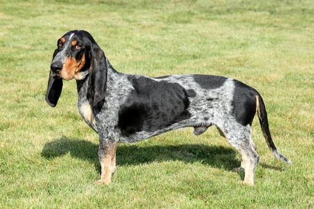 gascony: The portrait of Blue Gascony Basset in the autumn garden Stock Photo