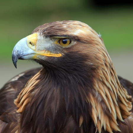 The portrait of Golden Eagle on the brown background photo