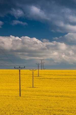 Flowers of oil in rapeseed field with high voltage power lines photo