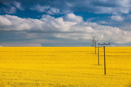 Flowers of oil in rapeseed field with high voltage power lines Stock Photo - 20420211