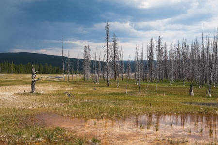 ravaged: Dead trees standing in Yellowstone - fire ravaged forest in 1988