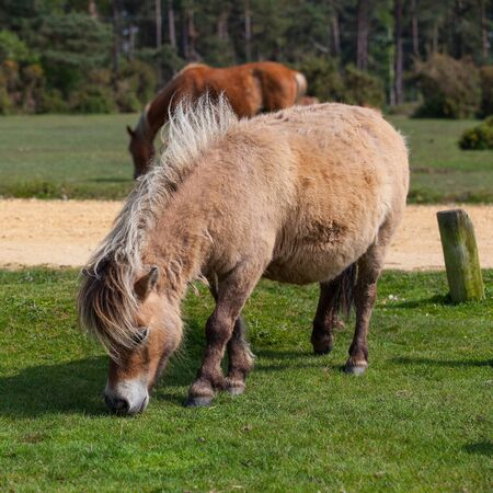 The wild pony in New Forest National Park in Great Britain photo