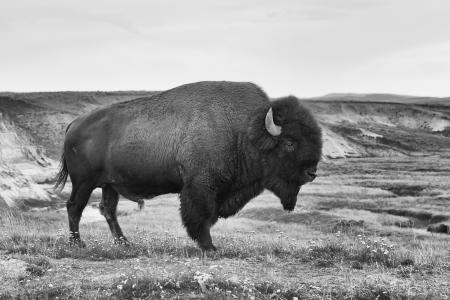 Typický Americký bizon v národním parku Yellowstone v USA