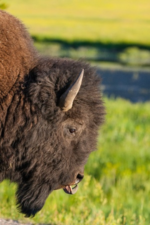 The typical American Bison in the Yellowstone National Park in USA photo