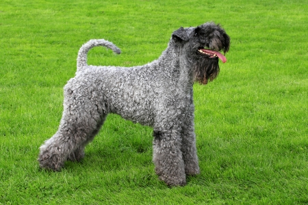 Kerry Blue Terrier in a spring garden