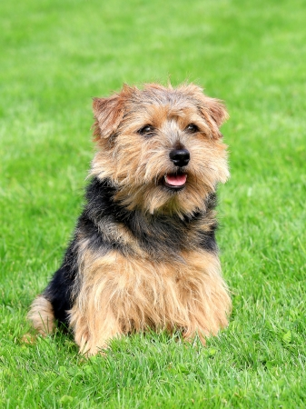 Norfolk terrier in a spring garden