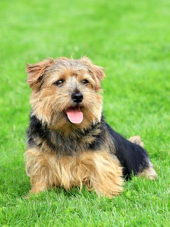 Norfolk terrier in a spring garden