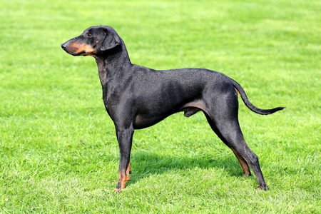 The lovely Manchester Terrier in a garden Stock Photo
