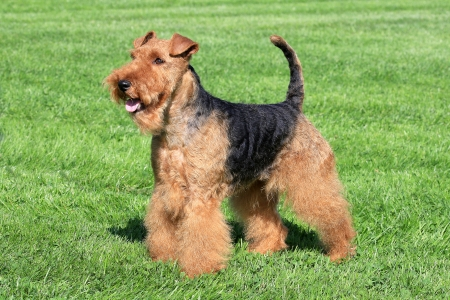 Welsh Terrier in a summer garden