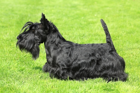 Black Scottish Terrier in a summer garden photo