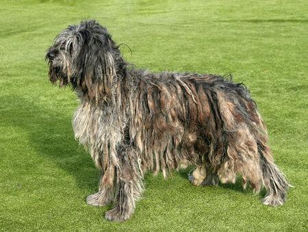 Big Bergamasco Shepherd dog on a summer garden 免版税图像