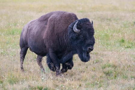 hayden: The typical American Bison in the Yellowstone National Park in USA