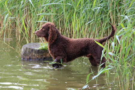 Typical American Water Spaniel in a river