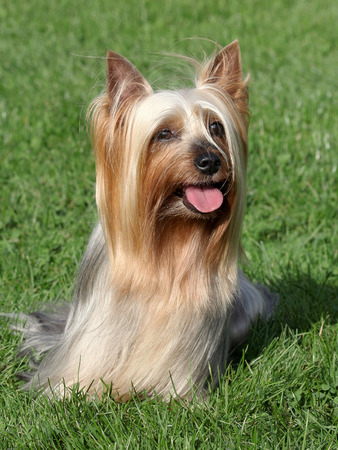 silky terrier: Portrait of Australian Silky Terrier in a summer garden