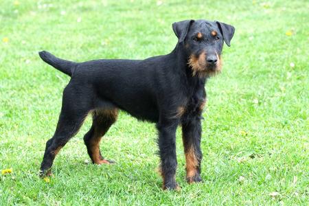 Portrait of German Hunting Terrier on green grass lawn 免版税图像