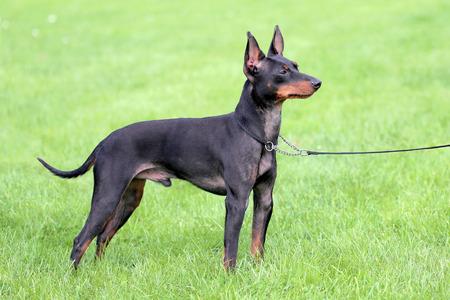 toy terrier: Nero English Toy Terrier Archivio Fotografico