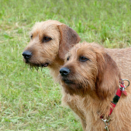 hounds: Two Carse Haired Styrian Hounds