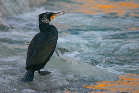 ornitology: Portrait of Great Cormoran (Phalacrocorax carbo) on the frozen river at sunrise