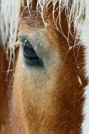 steed: Lovely brown horse eye in winter weather