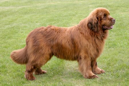 The portrait of Newfoundland brown dog in the garden
