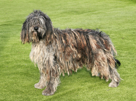The portrait of Bergamasco Shepherd dog in the garden