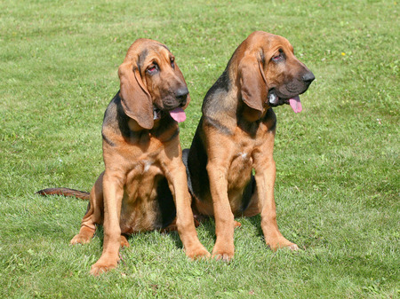 bloodhound: The portrait of pair of Bloodhound dogs in the garden