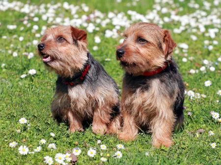 The portrait of pair Norfolk Terrier dogs in the garden 免版税图像