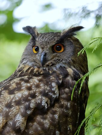 ornitology: The portrait of  Eagle Owl (Bubo Bubo) in the forest