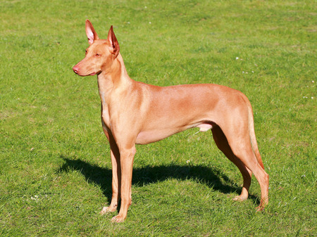 Typical  Pharaoh Hound  in the spring garden 스톡 콘텐츠
