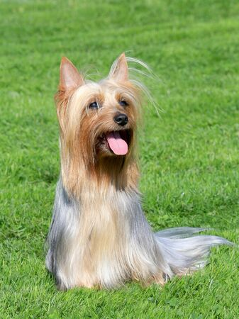 silky terrier: The portrait of Australian Silky Terrier in the garden