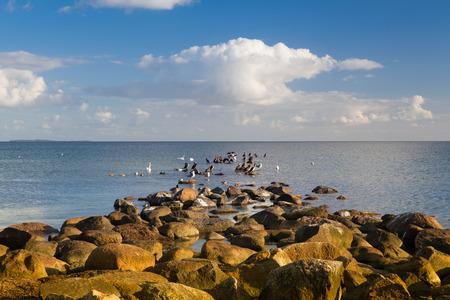 ornitology: Swans,Cormorants and Seagulls on the coast of the Baltic  Sea, Ruegen Island, Germany Stock Photo